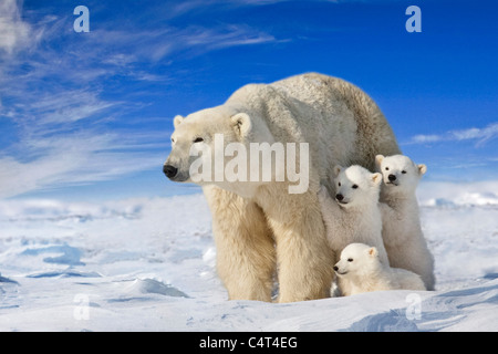 View of Polar Bear sow with her triplet cubs on the wind swept plains of Wapusk National Park, Manitoba, Canada - Stock Photo