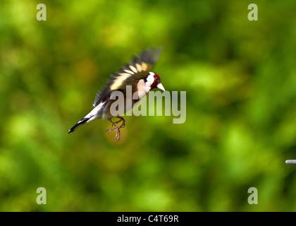 Landing Goldfinch - Stock Photo