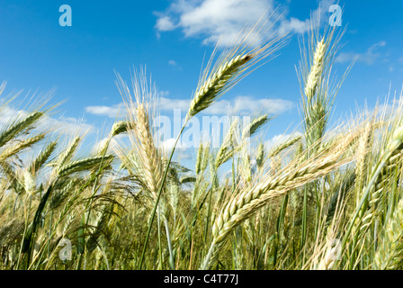 green spring grains, close up of yellow wheat ears on the field - Stock Photo