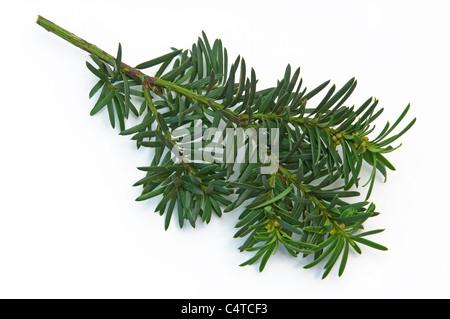Ornamental Yew (Taxus baccata Fastigiata Aureomarginata), twig. Studio shot against a white background. - Stock Photo