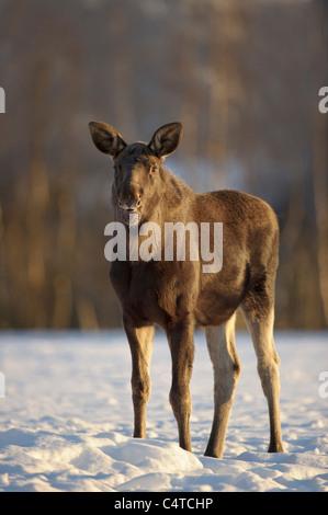 Moose, European Elk (Alces alces), juvenile standing in snow, Norway. - Stock Photo