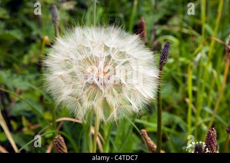 Close up dandelion seed head - Stock Photo
