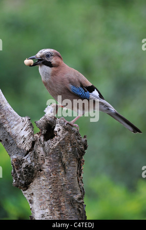 Eurasian Jay (Garrulus glandarius) perched on birch tree trunk in forest with nut in beak - Stock Photo