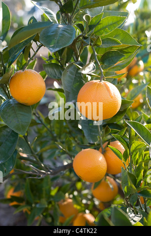 Marvelous Orange Oranges Orange Leaf Tree Trees Garden Leaves Stock  With Remarkable Bunches Of Oranges On Orange Tree Oranges Growing On Tree  Stock Photo With Lovely Solar Lights For Garden Bq Also Lyndene Garden Centre In Addition Garden City Education Trust And Garden Evergreen Shrubs As Well As Garden Spades Additionally Garden Wood Carvings For Sale From Alamycom With   Remarkable Orange Oranges Orange Leaf Tree Trees Garden Leaves Stock  With Lovely Bunches Of Oranges On Orange Tree Oranges Growing On Tree  Stock Photo And Marvelous Solar Lights For Garden Bq Also Lyndene Garden Centre In Addition Garden City Education Trust From Alamycom