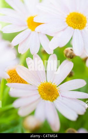 Oxeye daisies (Leucanthemum vulgare) - Stock Photo