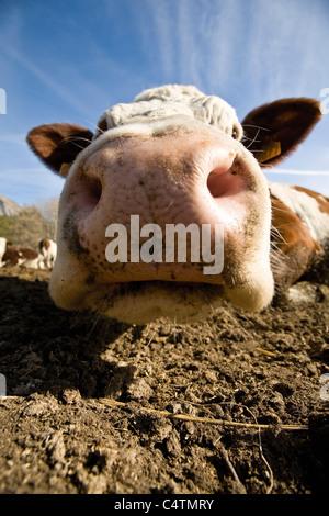 Cow's snout, close-up - Stock Photo