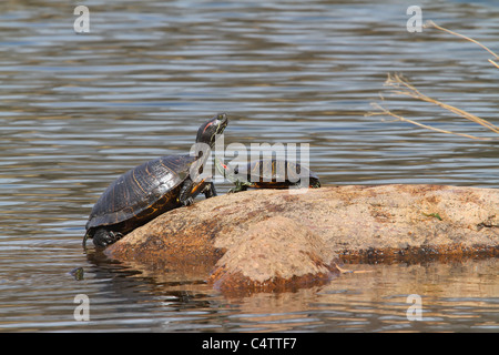 A large and a small red eared slider turtle on a rock - Stock Photo