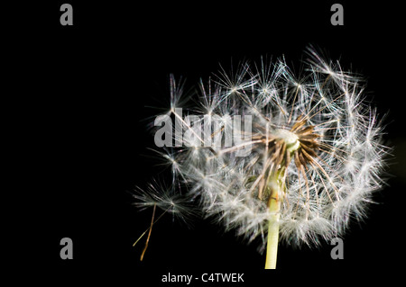 Wind blowing seeds off of dandelion seedhead (Taraxacum officinale) - Stock Photo