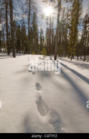 Wolf Tracks in snow near Redfish Lake; Sawtooth National Recreation Area, ID - Stock Photo