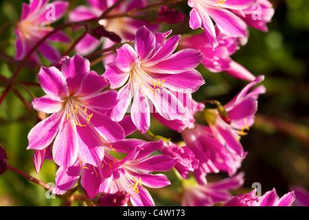 Lewisia Cotyledon Pink Flowers Macro - Stock Photo