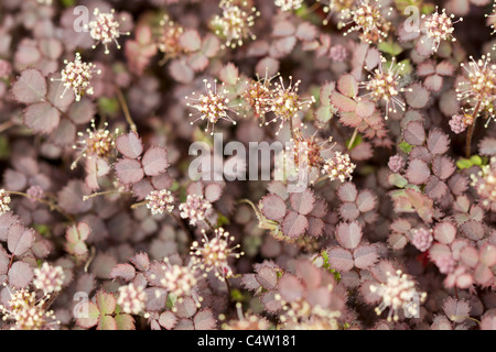 New Zealand Burr Groundcover Plant - Stock Photo
