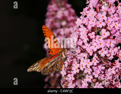 Gulf Fritillary or Passion Butterfly - Agraulis vanillae showing spectacular golden and white colored underside - Stock Photo