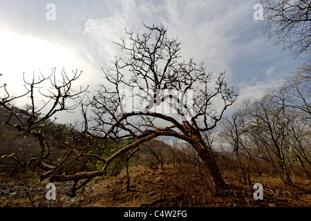 A view of wild forest habitat after a rainfall in Ranthambore Tiger Reserve, Rajasthan India. - Stock Photo