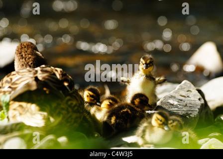 Anas platyrhynchos, female Mallard duck with ducklings at riverside, Wales - Stock Photo