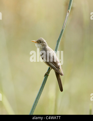 Olive tree Warbler Hippolais olivetorum on territory in olive grove Southern Turkey May - Stock Photo