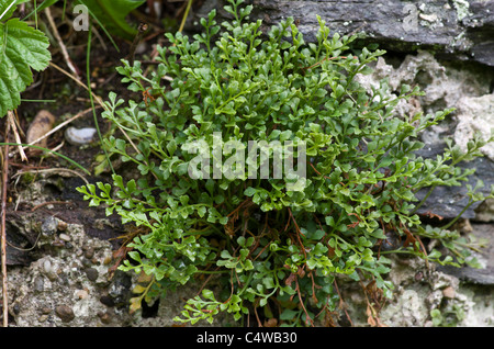 Wall-rue a small Spleenwort growing on the lime rich mortar of an old building, Newborough Forest, Anglesey, Wales, - Stock Photo