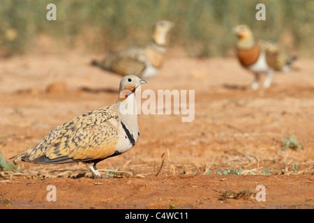 Black-bellied sandgrouse (pterocles orientalis) and Pin-tailed sandgrouse (pterocles alchata), Aragon, Spain. - Stock Photo