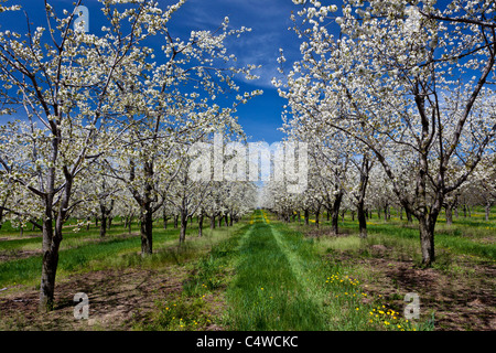Cherry trees in bloom in the orchards of the Leelanau Peninsula near Traverse City, Michigan, USA. - Stock Photo