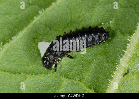 Green dock beetle larvae (Gastrophysa viridula) feeding on broad dock leaf - Stock Photo