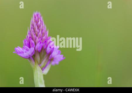 Pyramidal Orchid; Anacamptis pyramidalis; - Stock Photo
