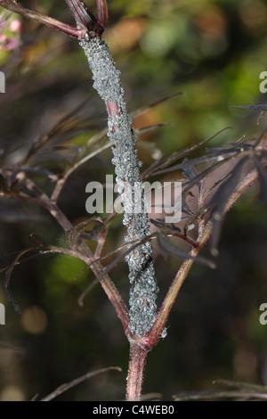 Colony of elder aphids (Aphis sambuci) on Sambucus nigra 'Black lace' stem - Stock Photo