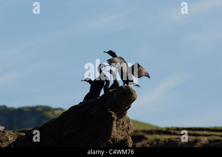 Scotland, Shetland Islands. Noss Scottish Natural Nature Reserve. Bird cliffs of Noss, common shags. - Stock Photo
