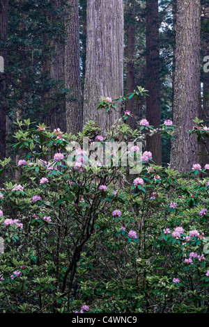 Spring rhododendron bloom among the redwood trees in California's Del Norte Coast Redwoods State and National Parks. - Stock Photo