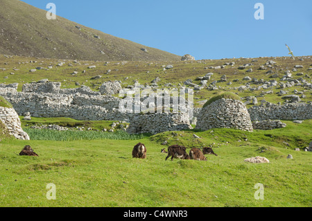 Scotland, St. Kilda Islands, Outer Hebrides. Historic island of Hirta. Primitive Soay sheep. - Stock Photo