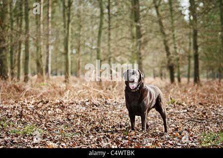 UK, England, Suffolk, Thetford Forest, Black Labrador in forest - Stock Photo