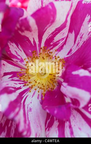 Rosa gallica var. officinalis Versicolor - Rosa mundi - Stock Photo