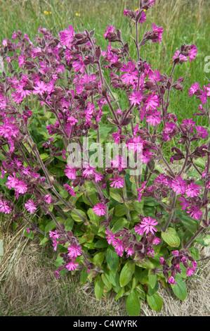 Red campion (Silene dioica) flowers Sumbrough Shetland Islands Subarctic Archipelago Scotland UK Europe - Stock Photo