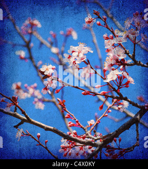 Cherry tree blossom flowers at spring over blue sky background - Stock Photo
