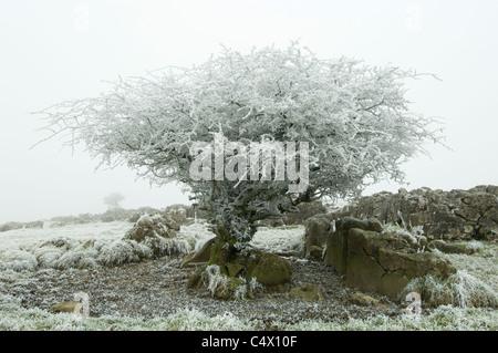 Frost covered Hawthorn (Crataegus monogyna), Derbyshire, UK - Stock Photo