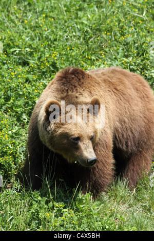 Detail of brown bear at the BärenPark (Bear Park). - Stock Photo