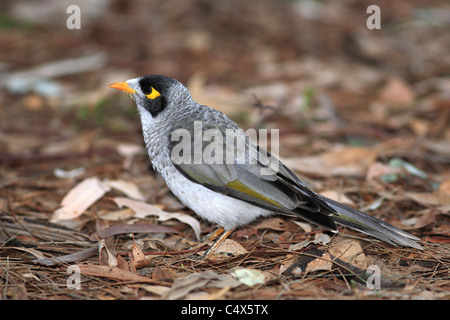 Noisy Miner, Manorina melanocephala, NSW, Australia.  In the honeyeater family, Meliphagidae, and is endemic to - Stock Photo