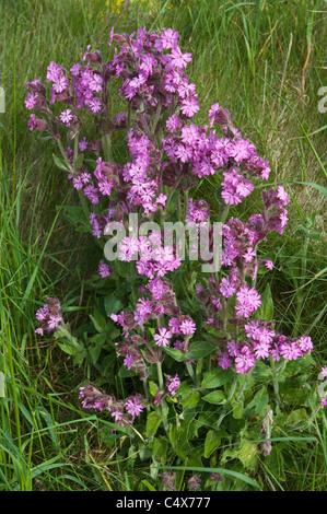 Red campion (Silene dioica, syn. Melandrium rubrum) flowering Norwick Unst Shetland Subarctic Archipelago Scotland - Stock Photo