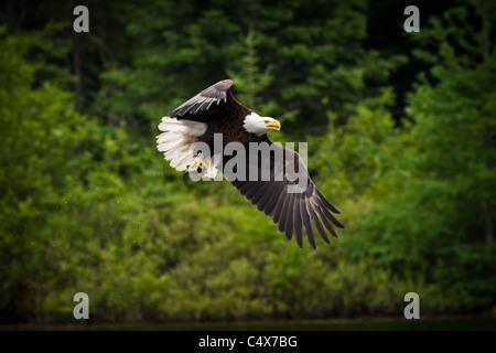 American bald eagle (Haliaeetus leucocephalus) in flight with fish Boulder Junction, Wisconsin. Stock Photo