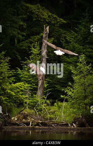 Two American bald eagle (Haliaeetus leucocephalus) in flight with fish Boulder Junction, Wisconsin. - Stock Photo