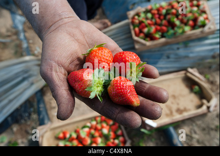 A Palestinian man holds a handful of freshly picked strawberries on a farm in northern Gaza. - Stock Photo