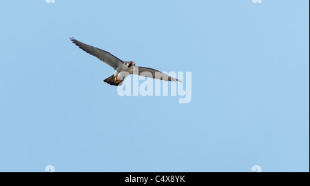 Adult Peregrine Falcon (Falco peregrinus) in flight above Lincoln Cathedral - Stock Photo