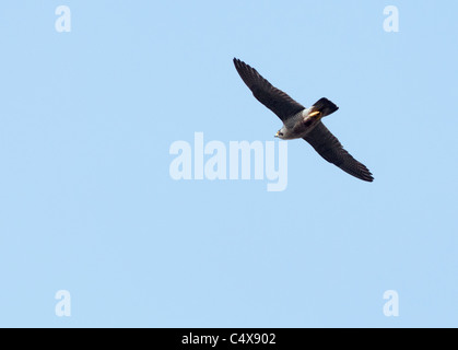 Peregrine Falcon (Falco peregrinus) in flight above Lincoln Cathedral - Stock Photo