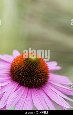 Echinacea purpurea 'Ruby Giant' coneflower - Stock Photo