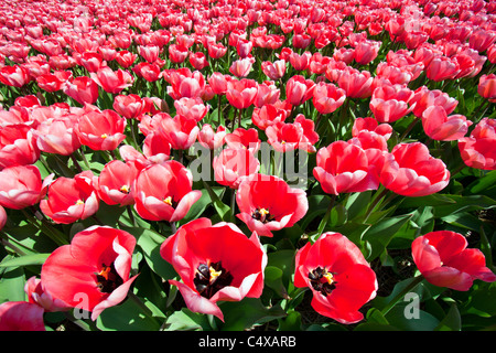 rose/red tulipfield close-up in Holland - Stock Photo
