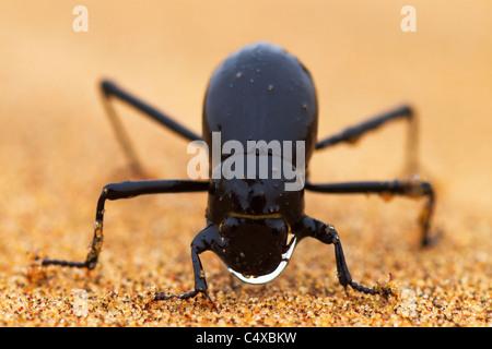 The Namib Desert beetle (genus Stenocara) fog basking. Namibia - Stock Photo