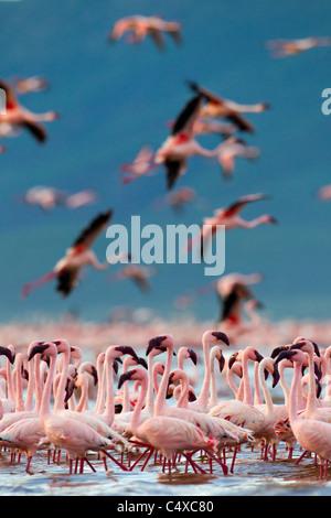 Lesser Flamingo (Phoenicopterus minor) at Lake Bogoria.Kenya - Stock Photo