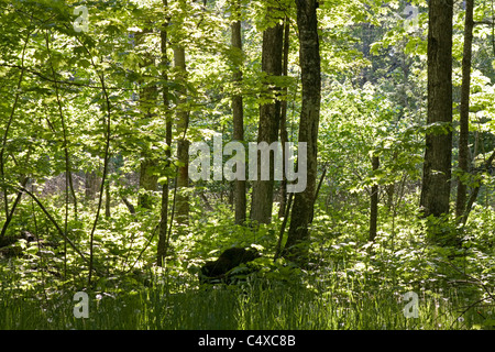 Early morning sun filters through a forest on Washington Island, Wisconsin. - Stock Photo