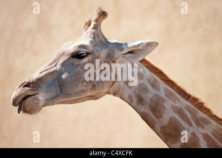 A giraffe looking down - Stock Photo