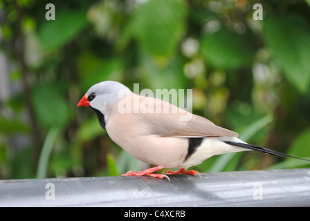 Fawn Shaft-tail Finch Latin name Poephila acuticauda - Stock Photo