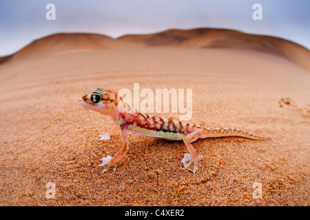 Web-footed Gecko (Palmatogecko  rangei). Nocturnal animals that live mostly nestled in deep burrows. - Stock Photo