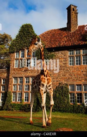 Rothschild Giraffe (Giraffa camelopardalis rothschildi) Is one of 9 subspecies of giraffe.Griaffe Manor Kenya. Dist. - Stock Photo